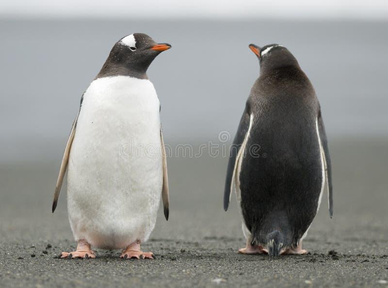 gentoo держа вахту пингвинов стоковое изображение rf