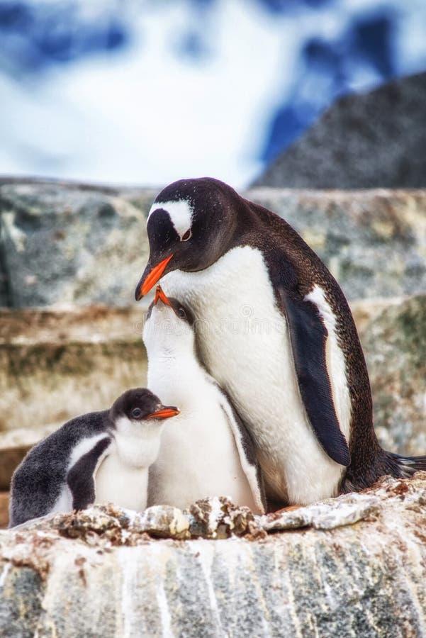 Gentoo adulte et poussins Antarctique image stock