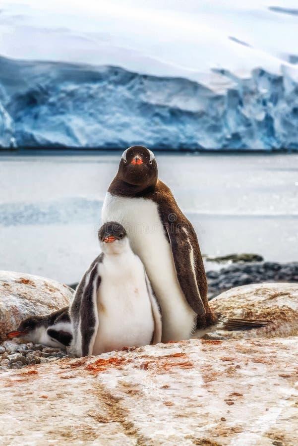 Gentoo adulte et poussins Antarctique photo stock