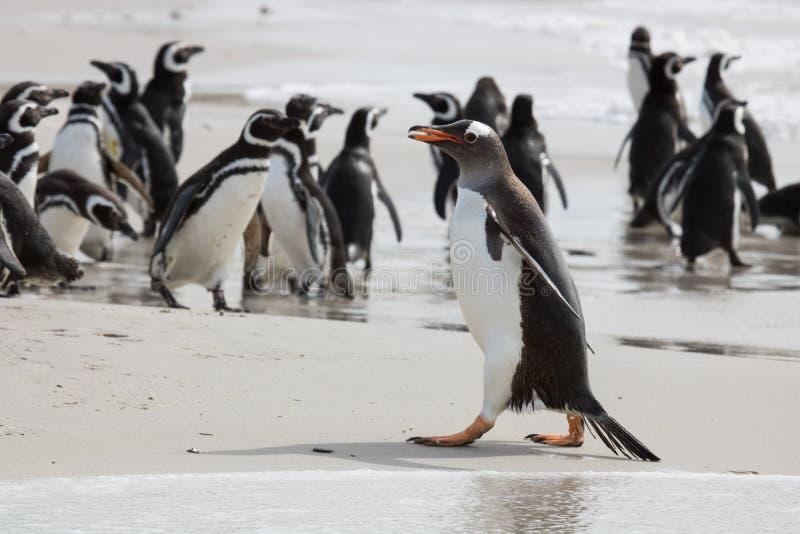 Gentoo penguin μεταξύ των magellanic penguins στοκ εικόνα με δικαίωμα ελεύθερης χρήσης