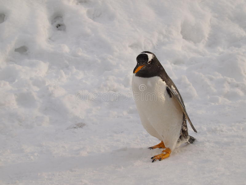 Download Gentoo Penguin stock image. Image of flipper, walk, penguin - 11818307