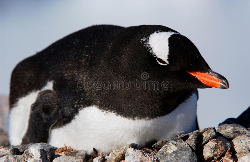 Download Gentoo penguin stock photo. Image of southpole, antarctica - 12825810