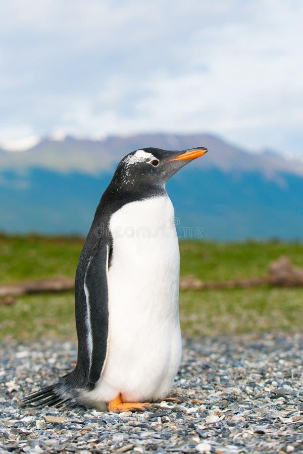 Download Gentoo penguin stock photo. Image of cute, look, flightless - 13866068