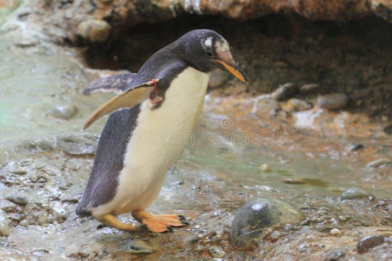 Download Gentoo Penguin Royalty Free Stock Image - Image: 25853186