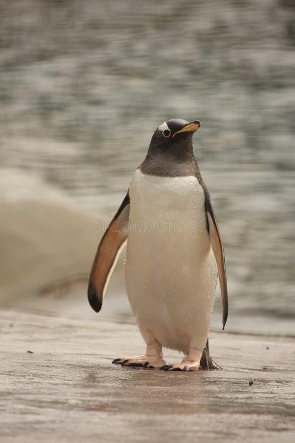 Free Gentoo Penguin Stock Photo - 5221240