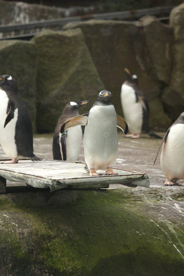 Free Gentoo Penguin Stock Photo - 5221370