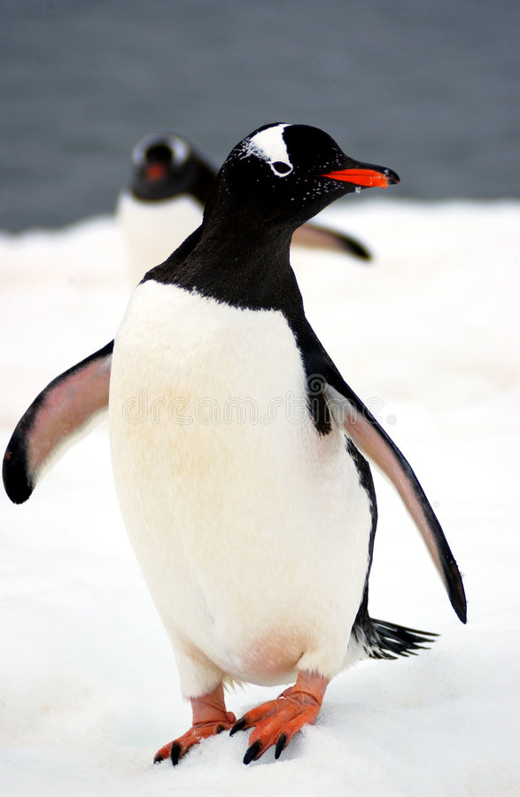Download Gentoo penguin stock image. Image of antarctica, pole - 6843093