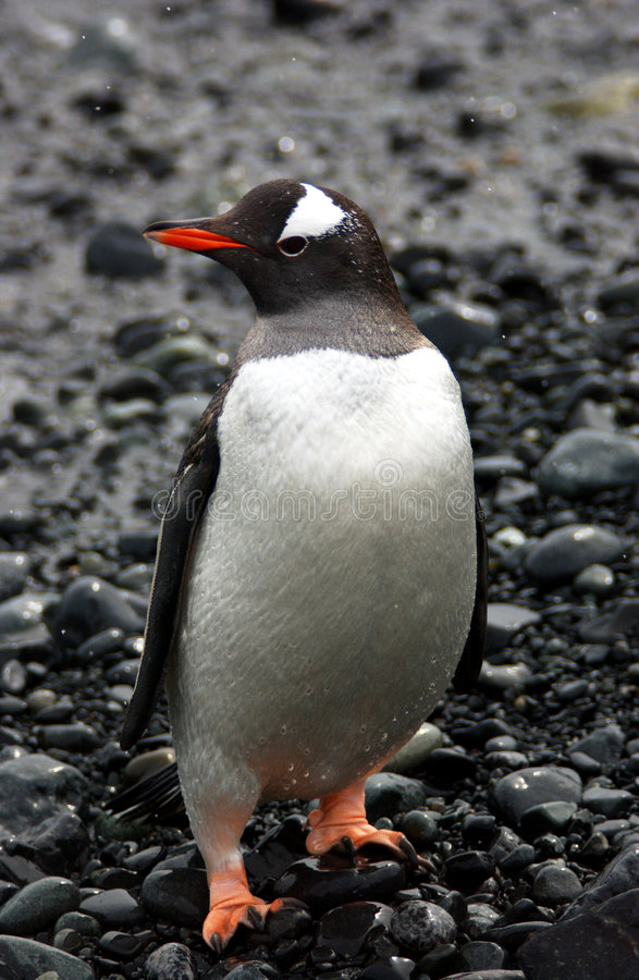 Download Gentoo Penguin stock image. Image of colony, pygoscelis - 9076609