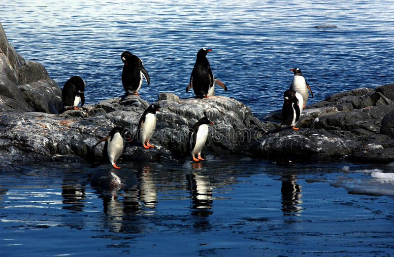 Download Gentoo penguin stock image. Image of bird, colony, wildlife - 9441165