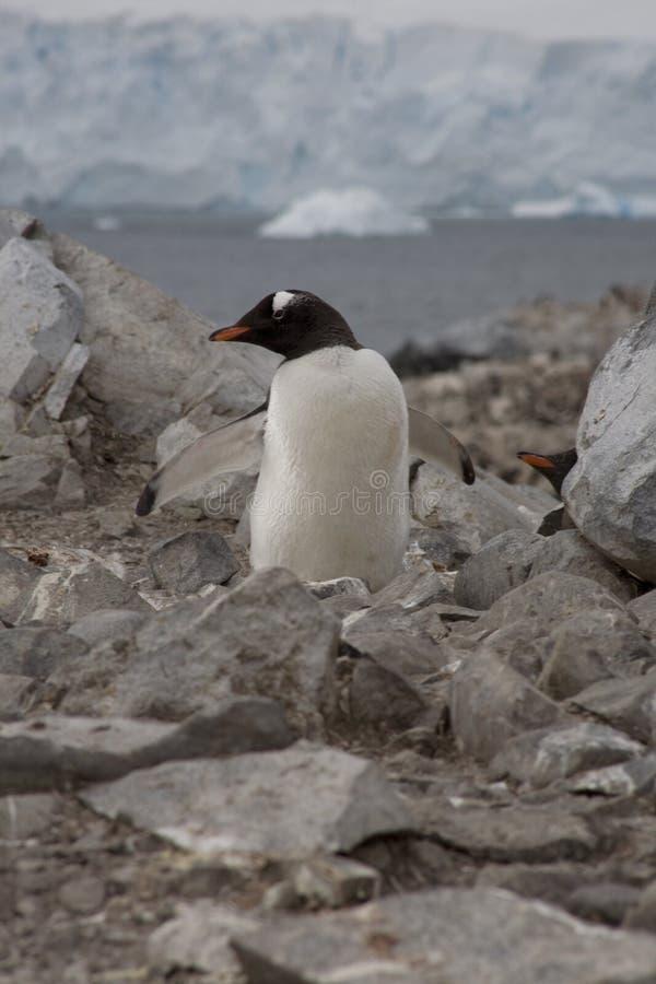 Gentoo penguin, Antarctica. stock photo