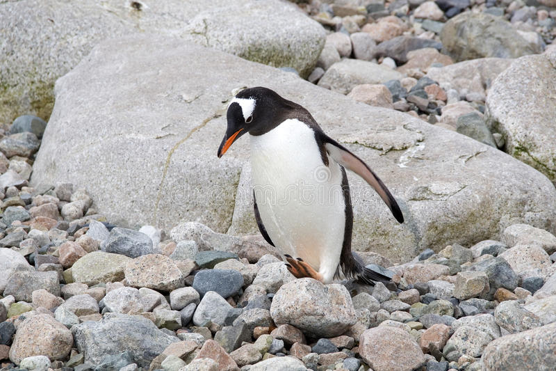 Download Gentoo penguin stock photo. Image of pole, black, bird - 33438578