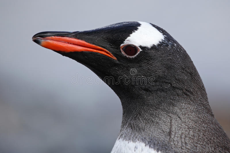 Download Gentoo Penguin Close-up, Antarctica Royalty Free Stock Photos - Image: 13188458