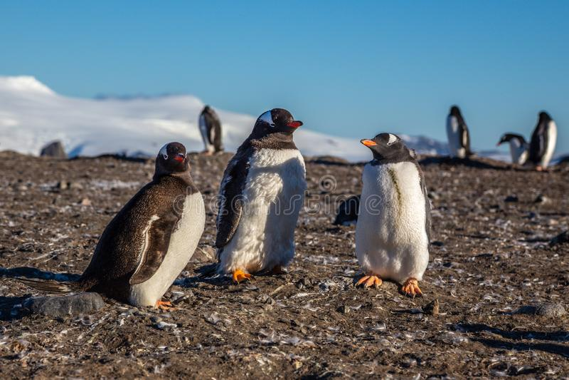 Gentoo penguin family enjoing the sun light at the Barrientos Island, Antarctic. 8, animal, animals, antarctica, antarctida, area, beak, beauty, bird, birds stock images