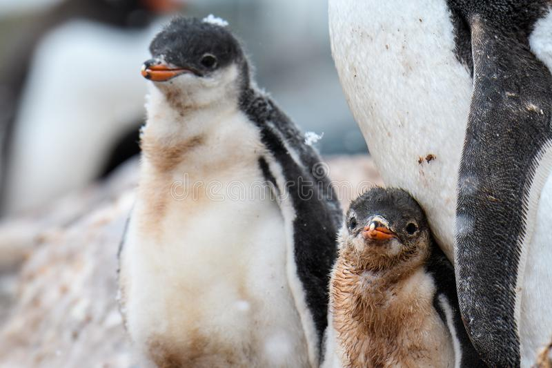 Gentoo Penguin family in a rookery, parent and two chicks, one chick with snow on it's head, Gonzales Videla Station, Paradise B royalty free stock images