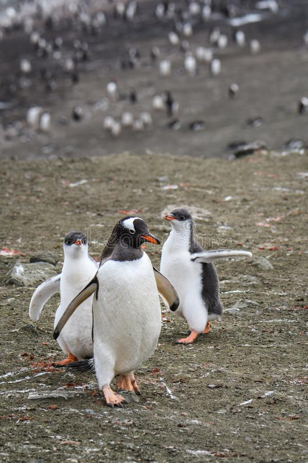 Gentoo penguin family, two large chicks chasing parent for food, colony in background, Aitcho Islands, South Shetland Islands, Ant royalty free stock photos