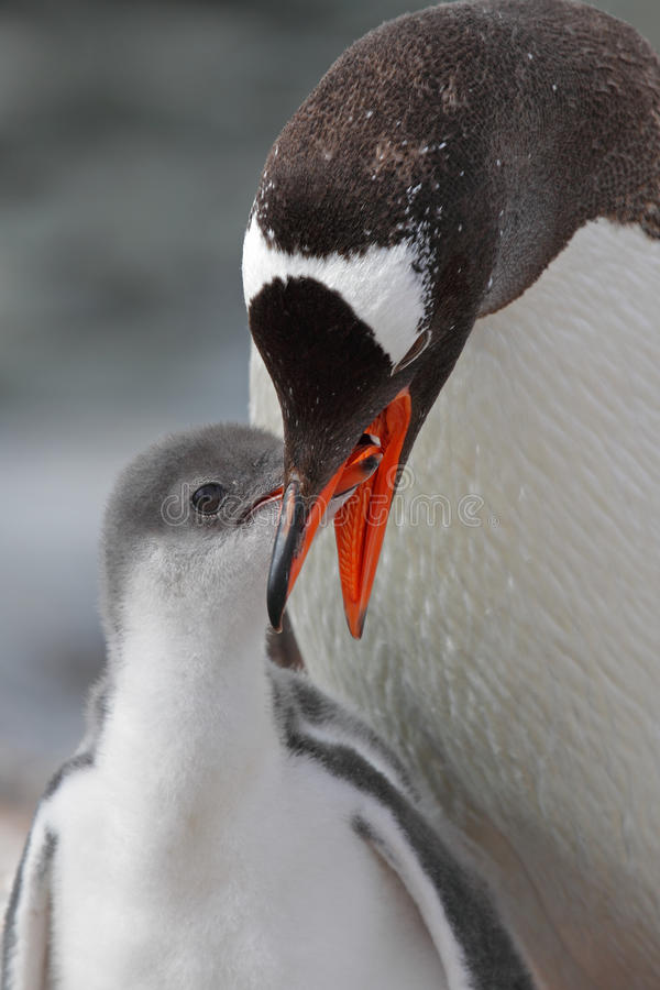 Download Gentoo Penguin Feeding Young, Antarctica Royalty Free Stock Image - Image: 13210886