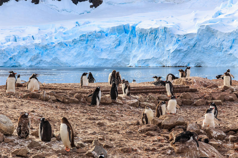 Gentoo penguin flock on the rocks and blue glacier in the background at Neco bay, Antarctic stock image