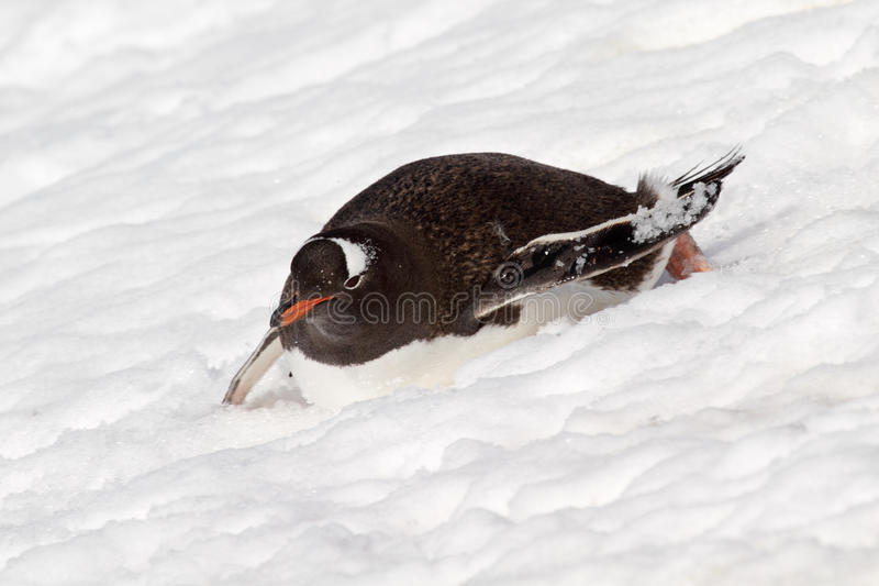 Gentoo Penguin Gliding Down Slope, Antarctica Royalty Free Stock Photography
