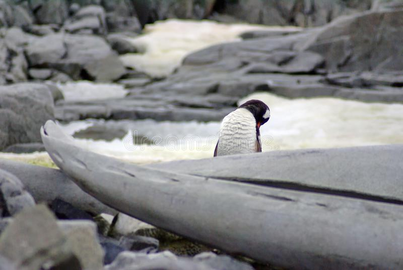 Gentoo penguins behind a whale bone. Gentoo penguin grooming itself behind a whale bone in Antarctica royalty free stock photo