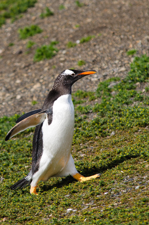 Gentoo Penguin On Martillo Island, Patagonia, Argentina Stock Image