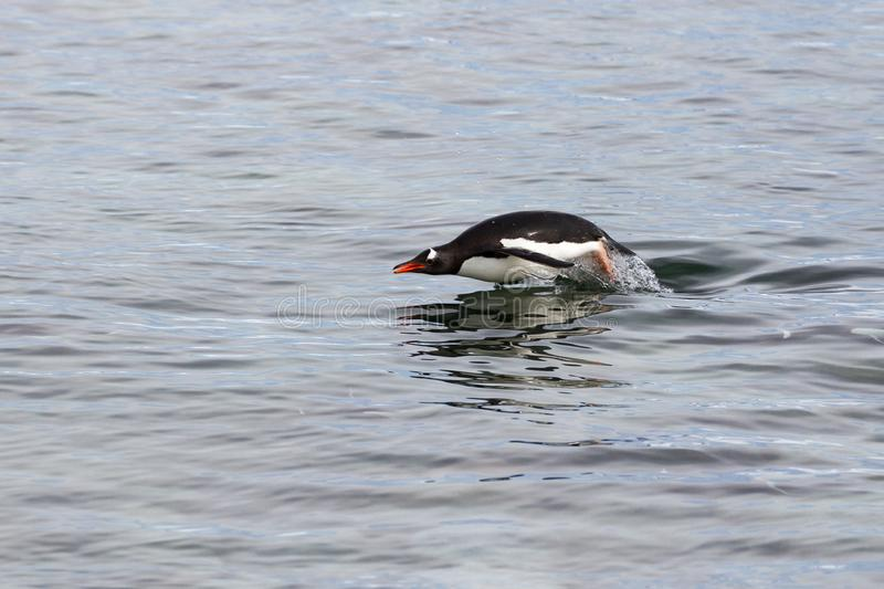 A Gentoo Penguin porpoises in the waters of the Antarctic Peninsula. A Gentoo Penguin Pygoscelis papua porpoises in the waters of the Antarctic Peninsula stock image