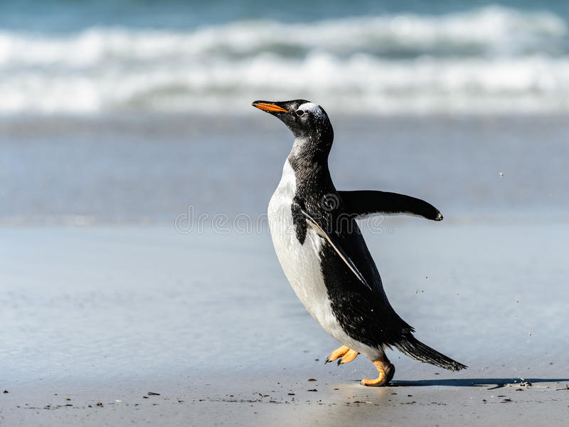 Download Gentoo penguin poses. stock image. Image of malvinas - 31775833