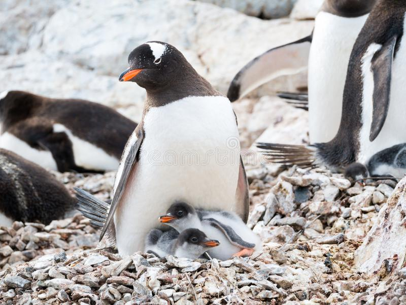 Gentoo penguin, Pygoscelis papua, adult with two chicks in colon stock photos