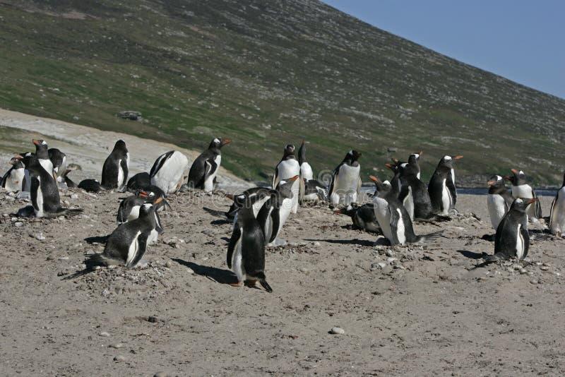 Gentoo penguin, Pygoscelis papua royalty free stock images
