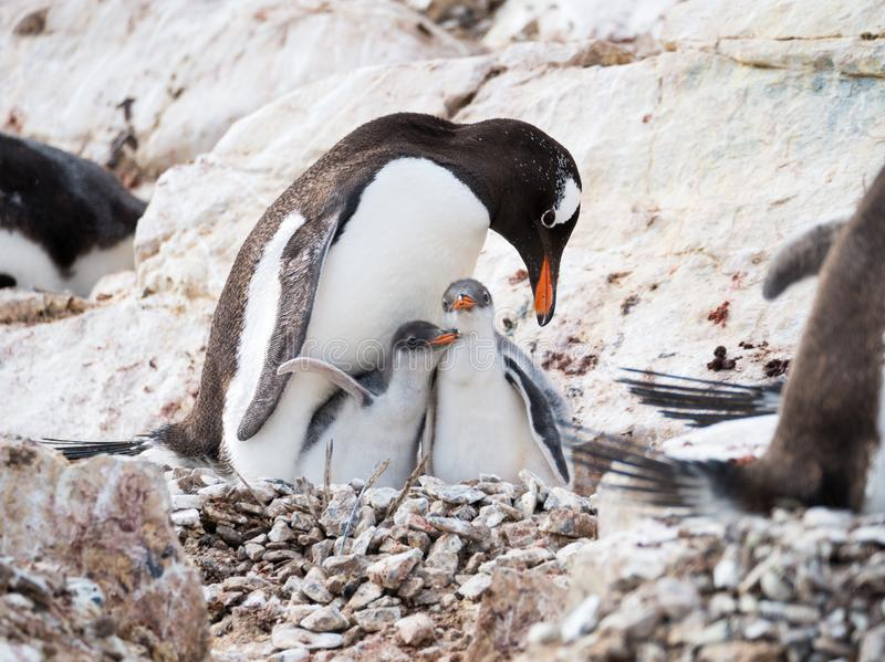 Gentoo penguin, Pygoscelis papua, mother with two chicks on Cuverville Island, Antarctic Peninsula, Antarctica stock photography