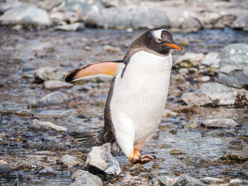 Gentoo penguin, Pygoscelis papua, walking on pebble beach of Cuverville Island, Antarctic Peninsula, Antarctica. Gentoo penguin, Pygoscelis papua, waddling on royalty free stock photo