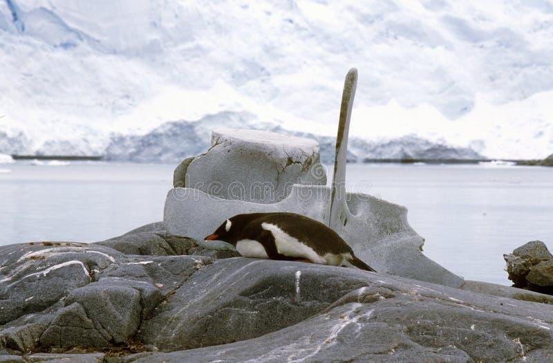 Gentoo penguin (Pygoscelis papua) and whale bone in Paradise Harbor, Antarctica stock image