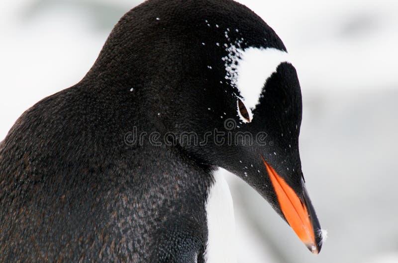 Download Gentoo penguin's head stock photo. Image of penguin, rest - 8439628