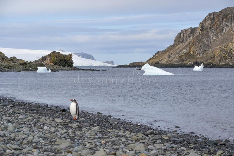 Gentoo penguin on the shores of Antarctica. A day at sea with bountiful supplies, a satisfied thirst for exploration and a family awaiting return, leaves this stock photography