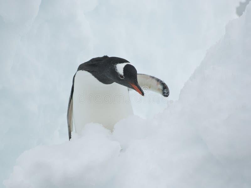 Gentoo Penguin in a snow crevasse.