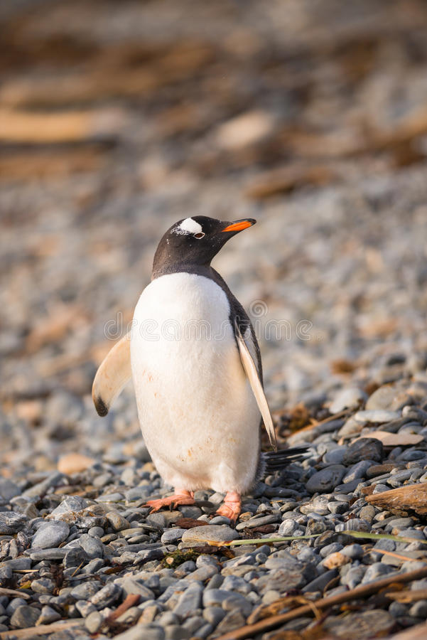 Download Gentoo Penguin, South Georgia, Antarctica Stock Image - Image: 39711961