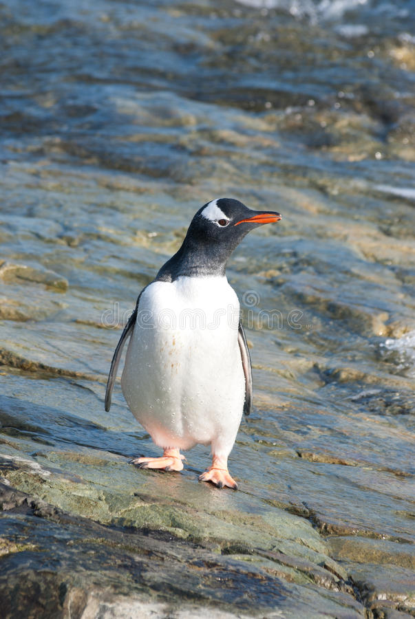 Gentoo Penguin Standing In The Tidal Zone. Royalty Free Stock Photography