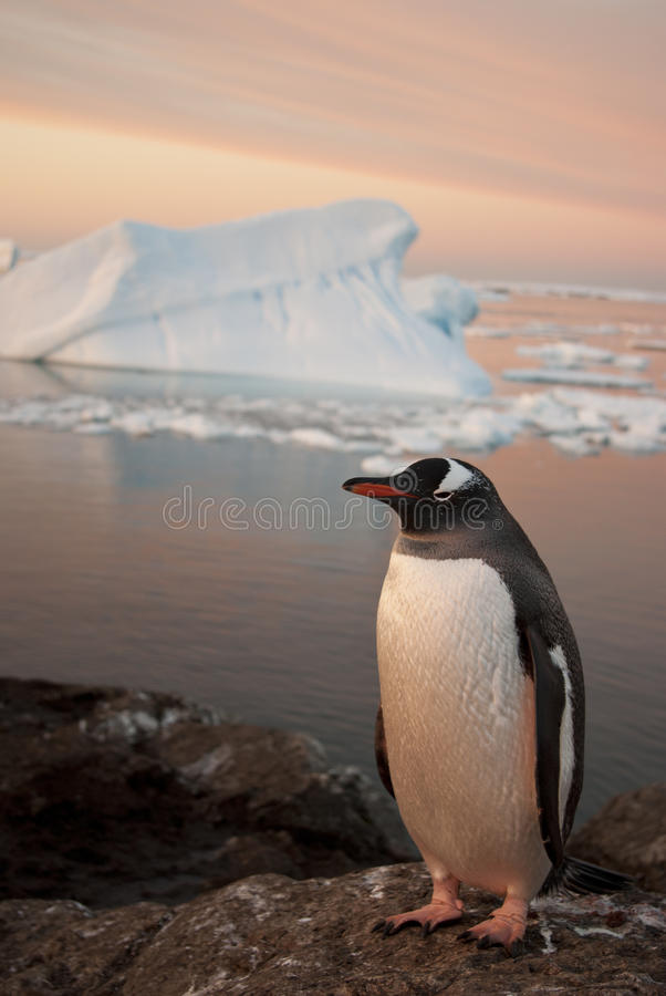 Download Gentoo penguin at sunset. stock photo. Image of pygoscelis - 28142786