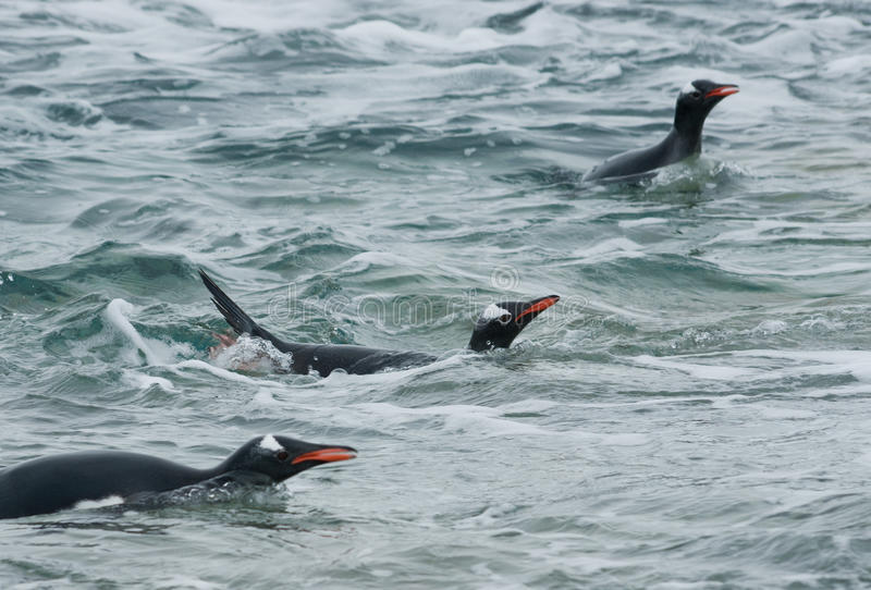 Download Gentoo Penguin Swimming In The Ocean. Royalty Free Stock Images - Image: 27930739