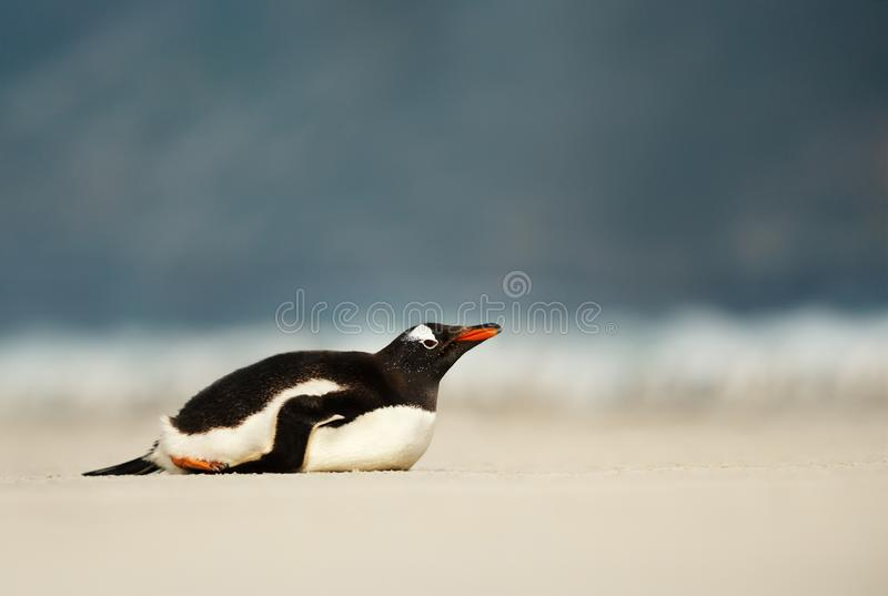 Gentoo penguin taking a nap on a sandy beach stock photo