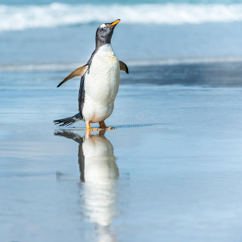 Download Gentoo Penguin In The Water. Stock Image - Image: 31775757