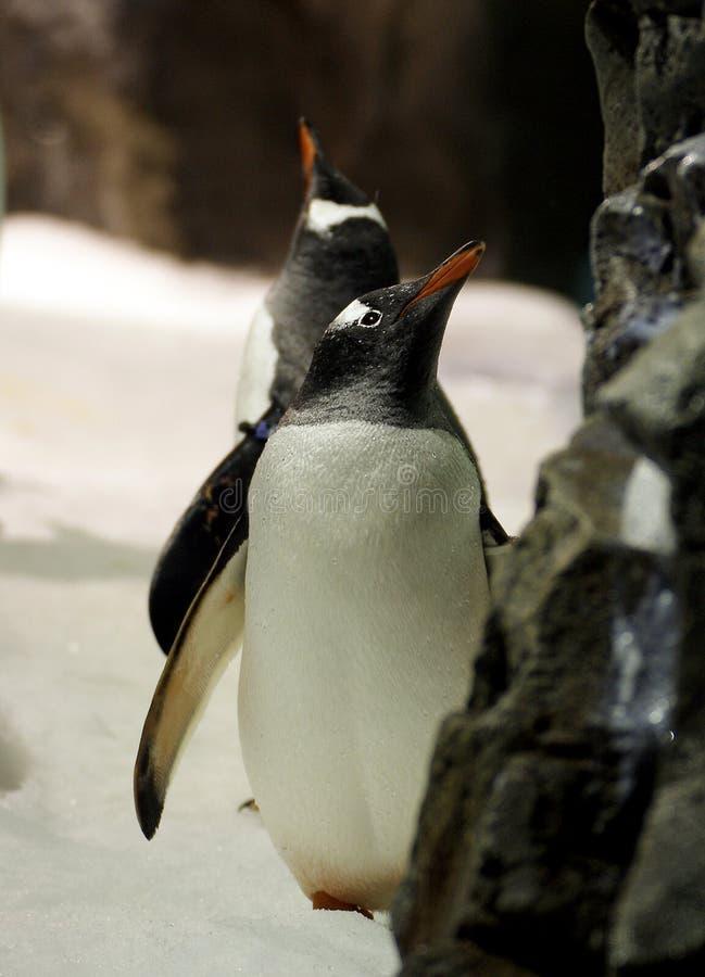 Gentoo Penguin. (10) royalty free stock photo