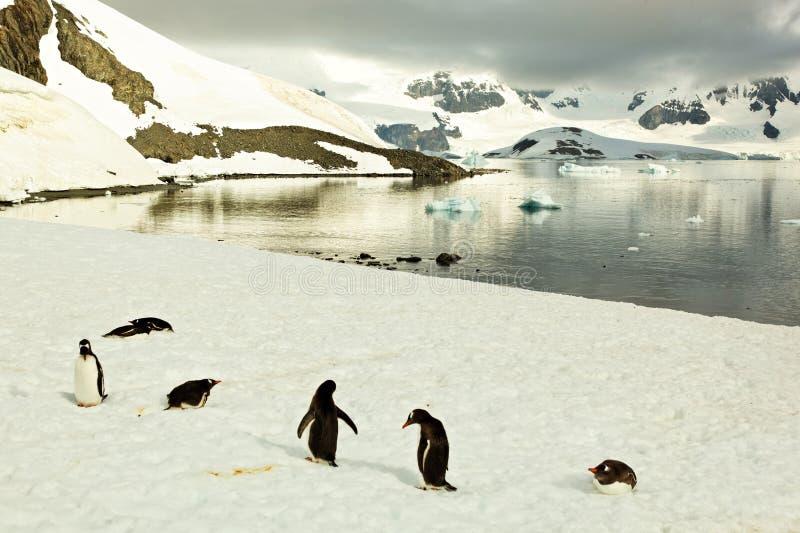 Gentoo penguines przed jeziorem w Antarctica zdjęcia royalty free