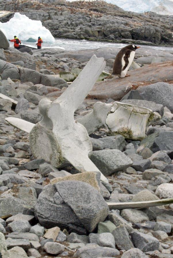 Gentoo penguins πίσω από ένα κόκκαλο φαλαινών στοκ φωτογραφία με δικαίωμα ελεύθερης χρήσης