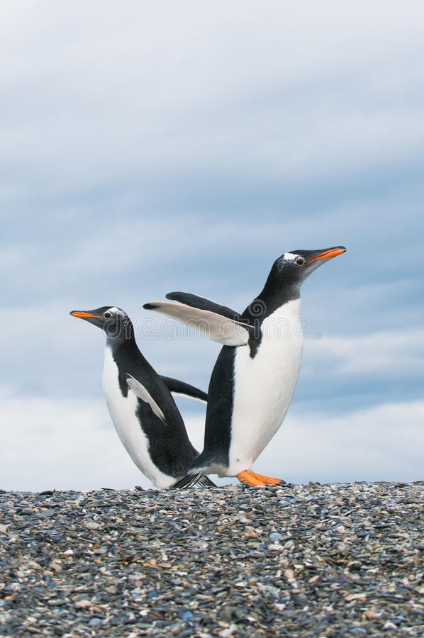 Download Gentoo penguins stock image. Image of look, black, lovely - 13953493
