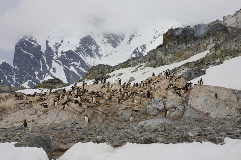 Gentoo penguins on the Antarctic Peninsula. stock photo