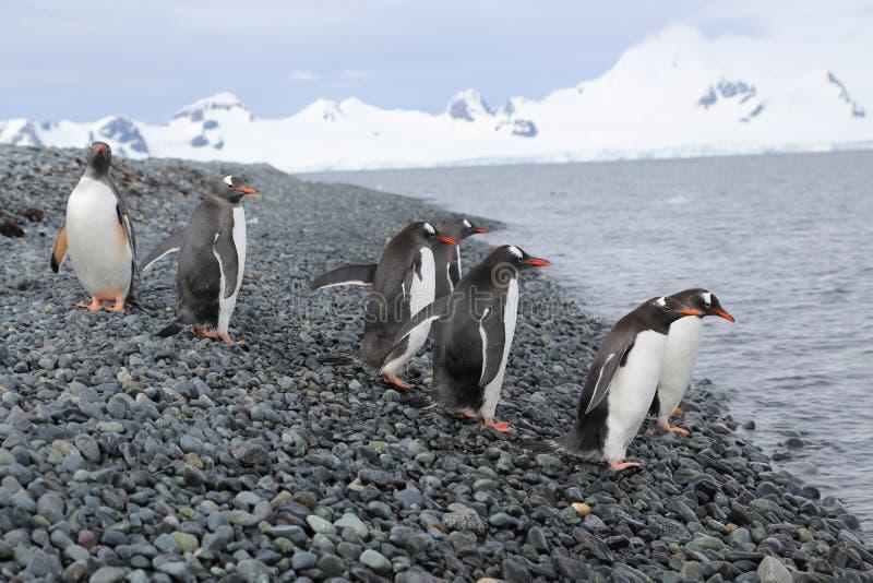 Download Gentoo Penguins In Antarctica Stock Image - Image: 34867311