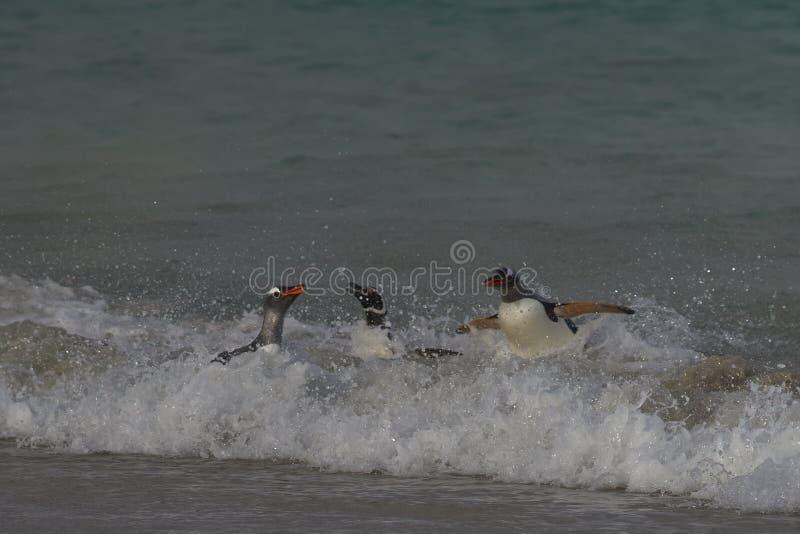 Gentoo Penguins coming ashore - Falkland Islands royalty free stock photography