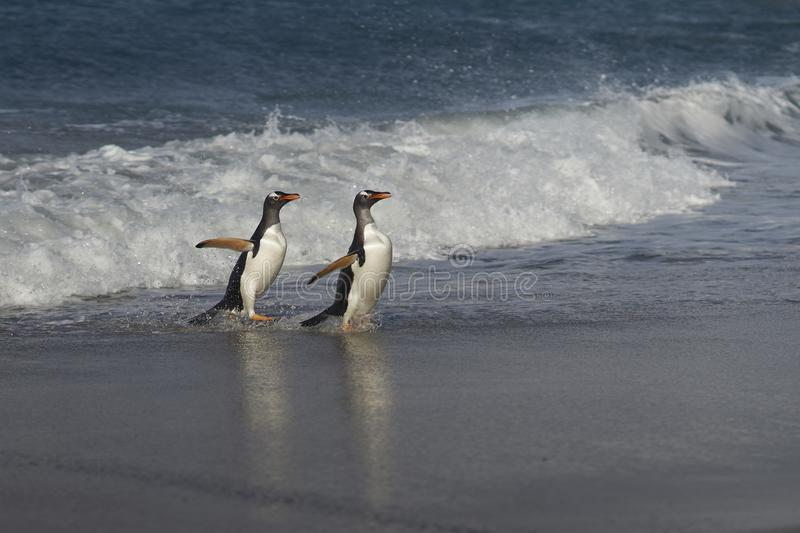 Gentoo Penguins coming ashore on Sea Lion Island royalty free stock images