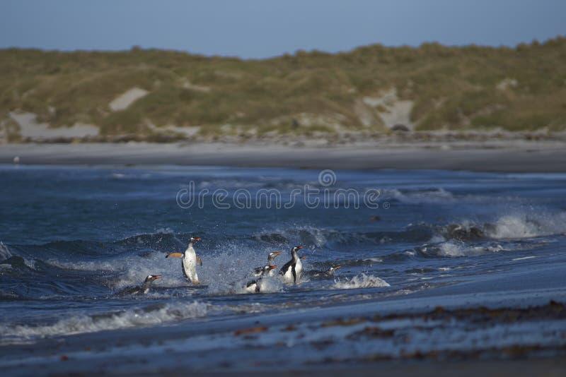 Gentoo Penguins coming ashore on Sea Lion Island royalty free stock image