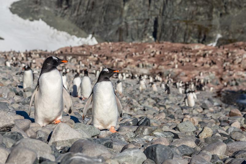 Gentoo penguins couple standing on the coastline with the whole royalty free stock photo